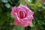 024-rosa-feli-1