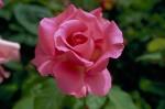 025-rosa-feli-2