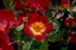 026-rosa-feli-3