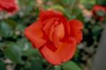 028-rosa-feli-4
