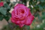 030-rosa-feli-6