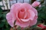 033-rosa-feli-8