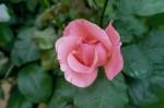 036-rosa-feli-10