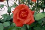 a004-rosa-feli-12