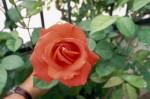 a026-rosa-feli-29