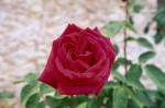 a033-rosa-feli-36